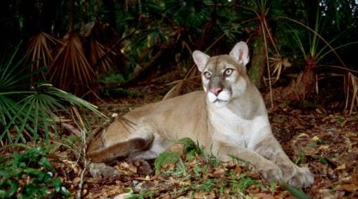 Florida Panther via FWS