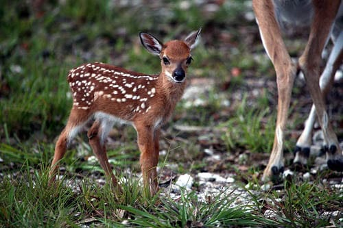 Key Deer Fawn Florida Keys via FWS