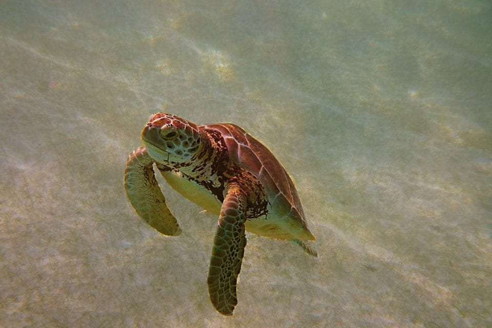 Sea Turtle swimming for air Akumal Bay - use reef safe sunscreen for this guy