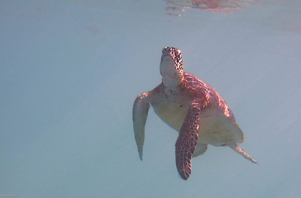 Sea Turtle swimming for air Akumal Bay