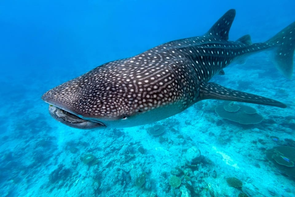 Whale Shark via Canva