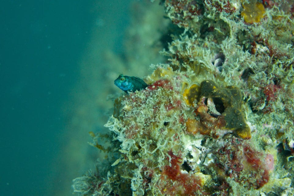 Blenny hiding on the DuPont Bridge Span