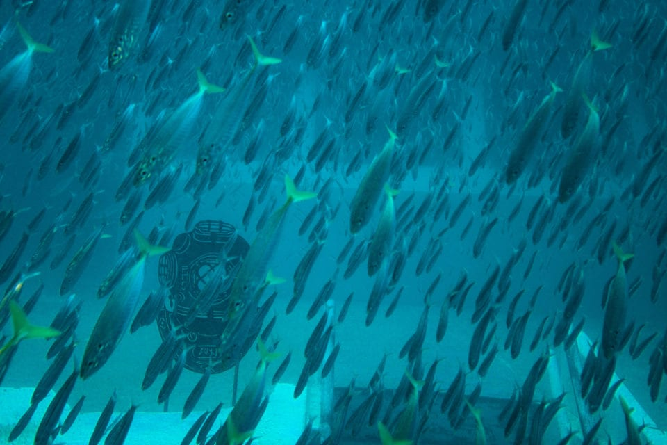 Fish swarming the bow of El Dorado