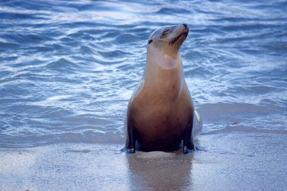 Sea lion on  La Jolla Beach