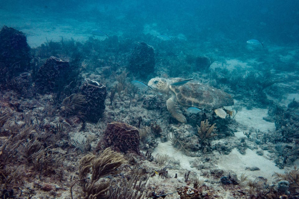 Turtle Swimming at 4th Window Dive Site West Palm Beach