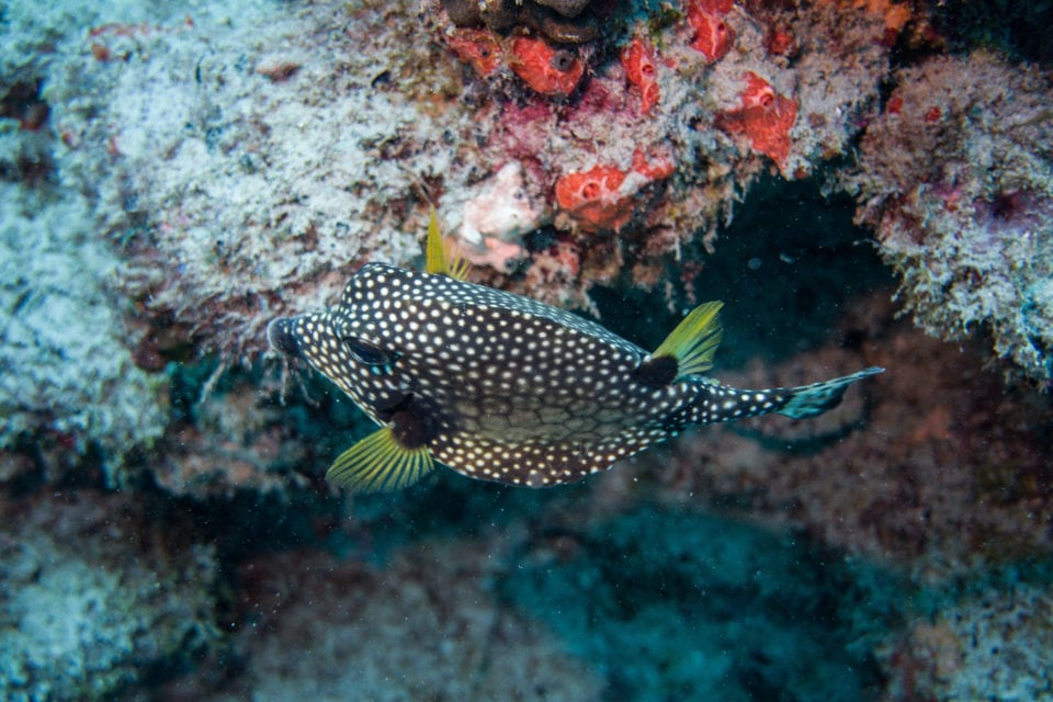 Spotted Trunkfish seen on dive