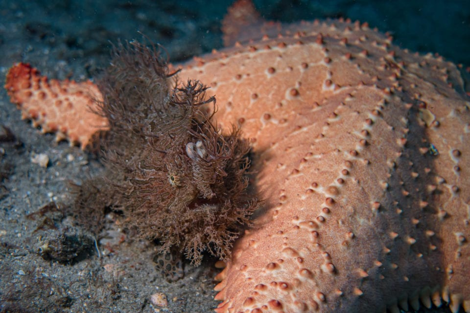 Frogfish and Starfish at Blue Heron Bridge dive