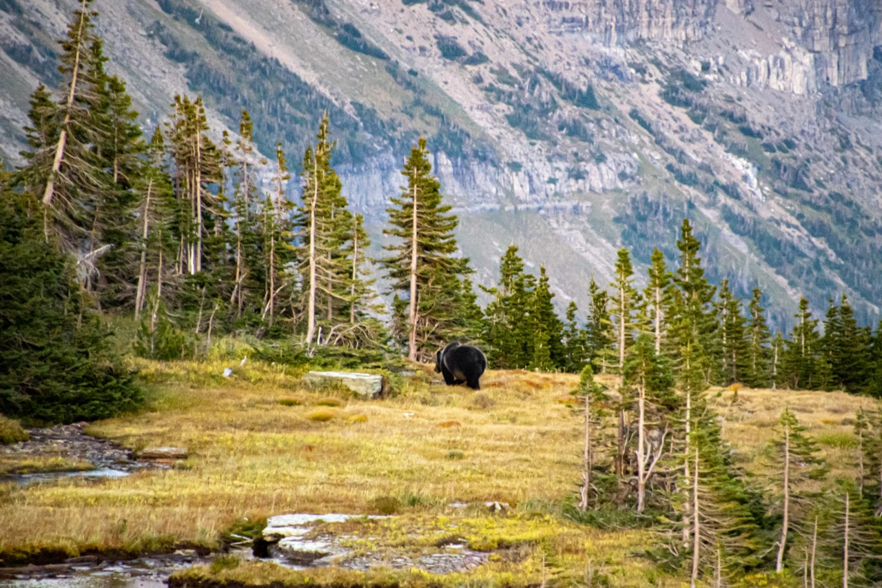 Grizzly bear seen hiking in the fall at Glacier National Park