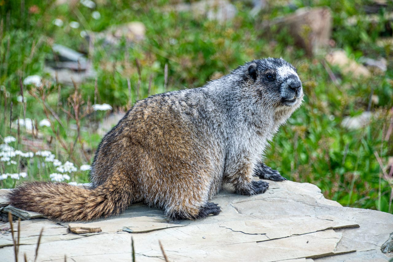 Marmot in Glacier National Park in the summer