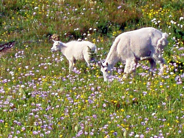 Mountain goats and wildflowers in Glacier National Park
