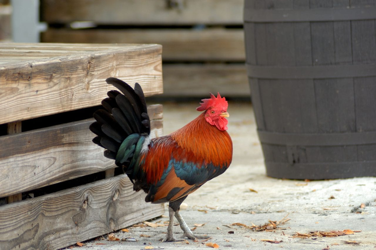 You will see many wild roosters on a Key West bike tour