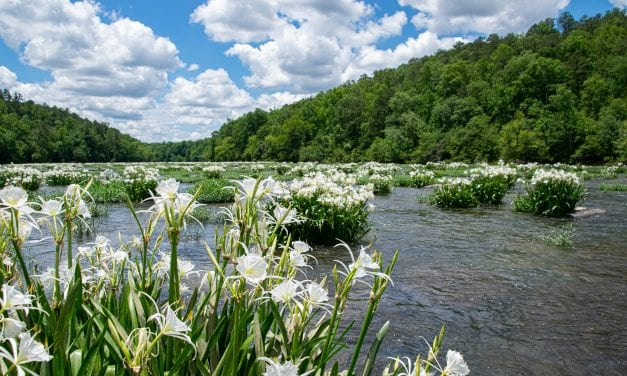 How to See Cahaba Lilies – Alabama's Most Fragrant Natural Wonder
