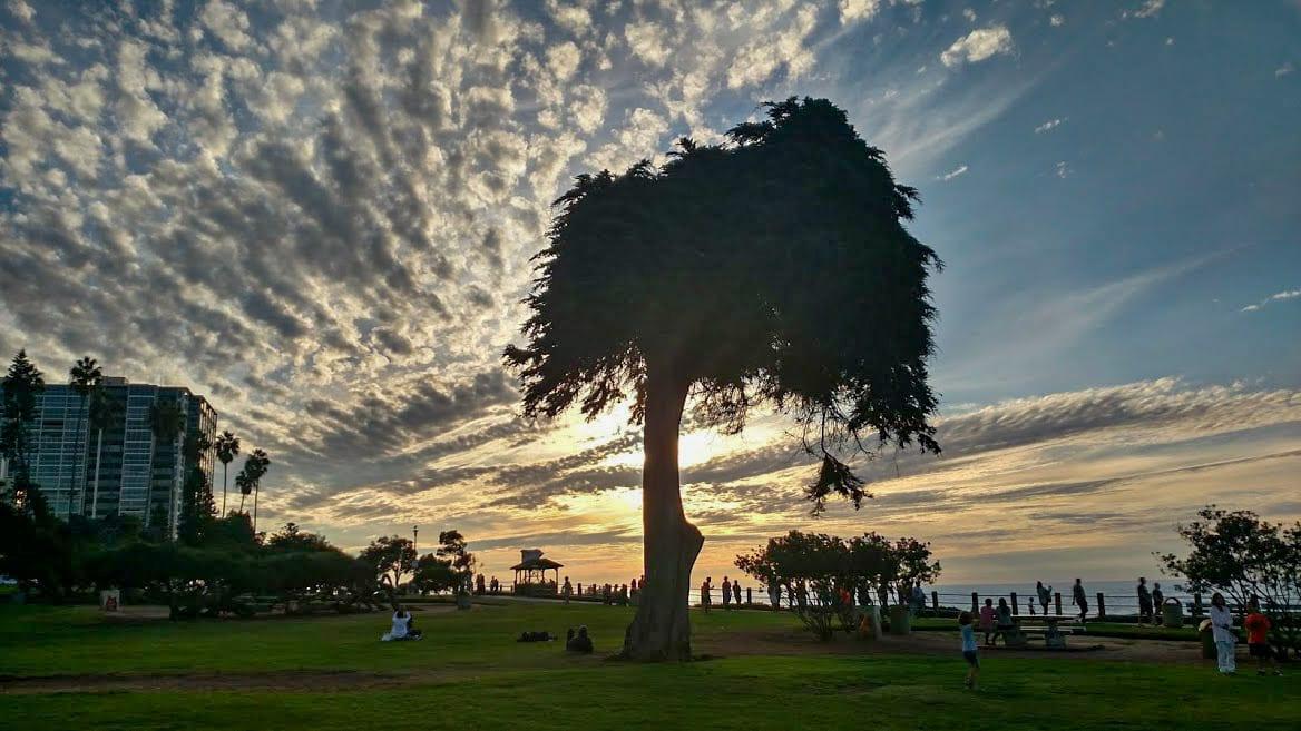Lorax tree La Jolla_