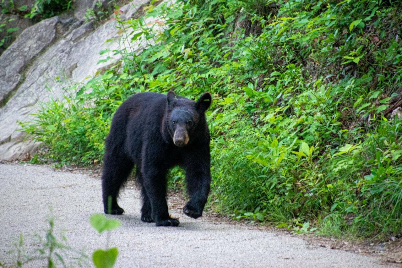 bear on Laurel Falls Trail