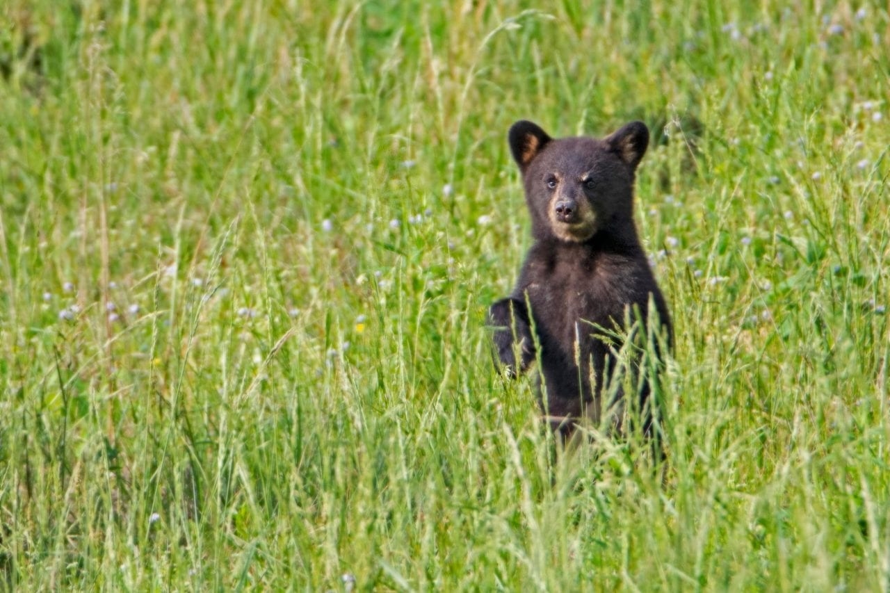 Cades Cove baby bear via Canva