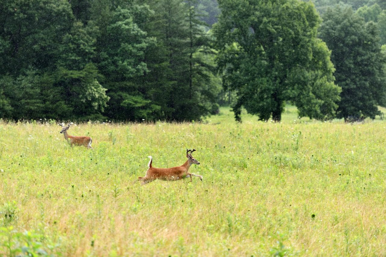 Cades Cove deer via Canva