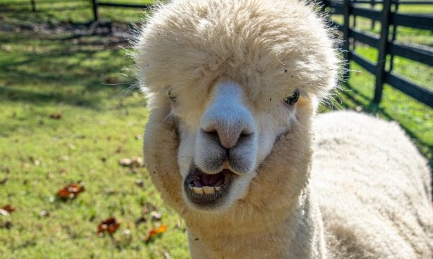 11 Things We Didn't Know About Alpacas Until Visiting Mistletoe Farm