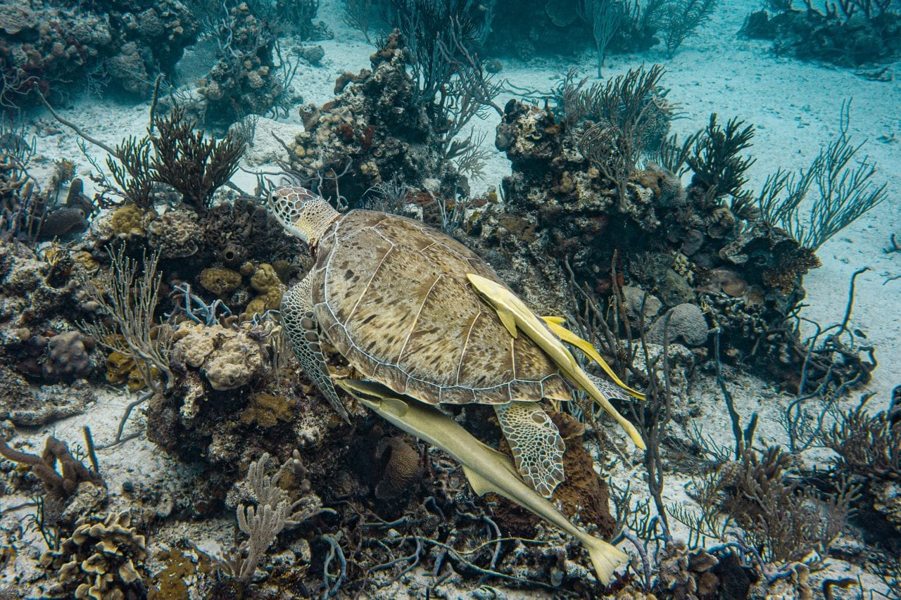 Turtle swimming by on a Bahama drift dive