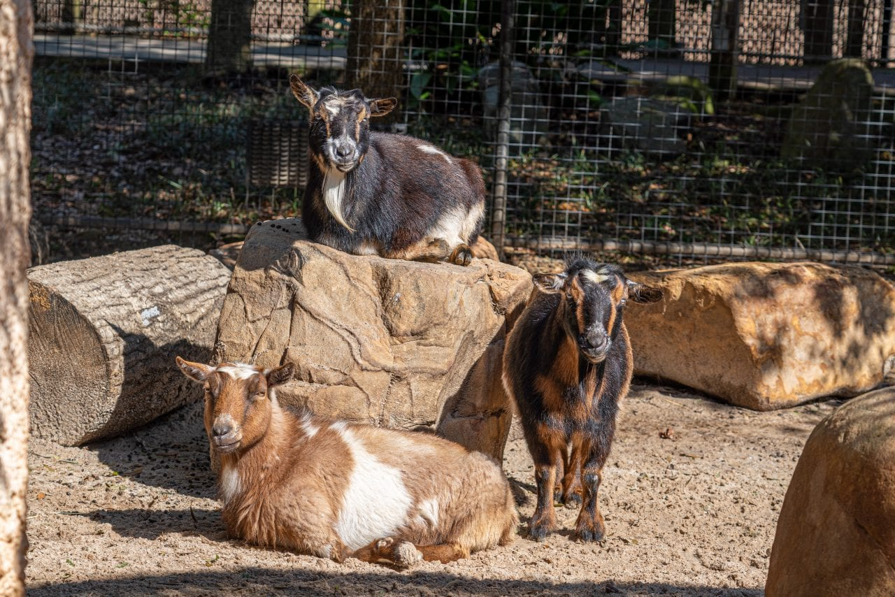 A trio of goats at the Hattiesburg Zoo