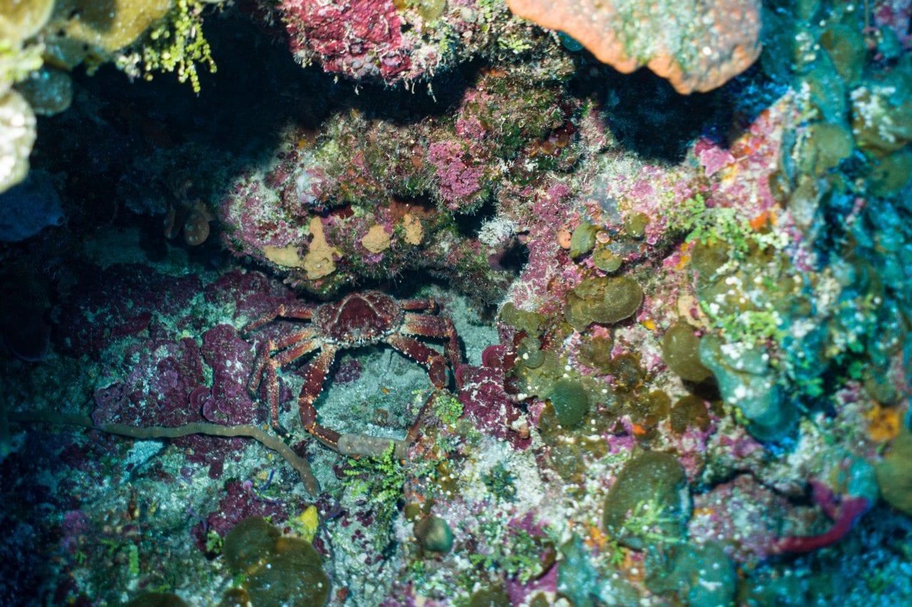 Bahama crab on a dive wall dive