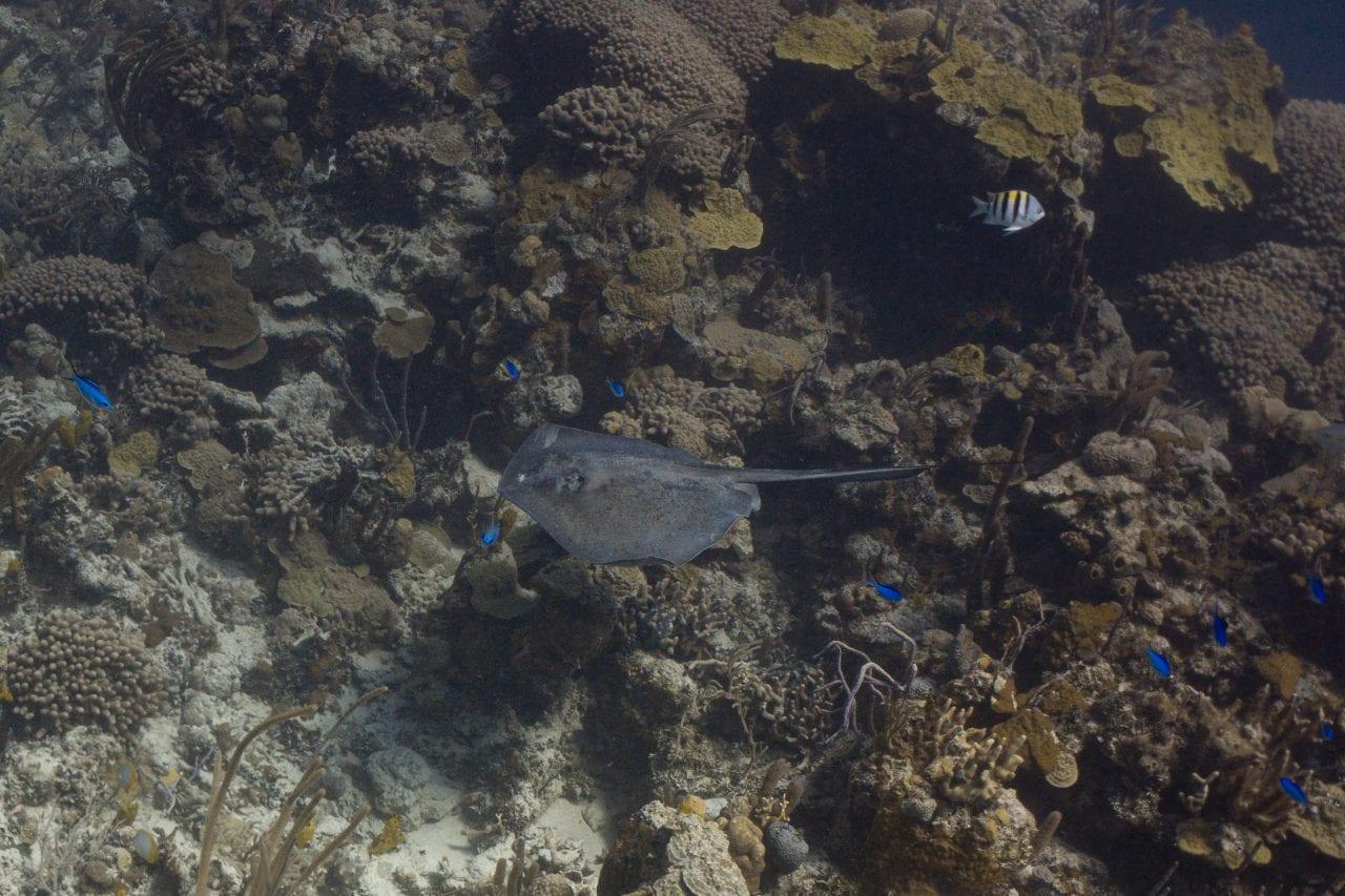 Stingray swimming on a Bahamas drift dive