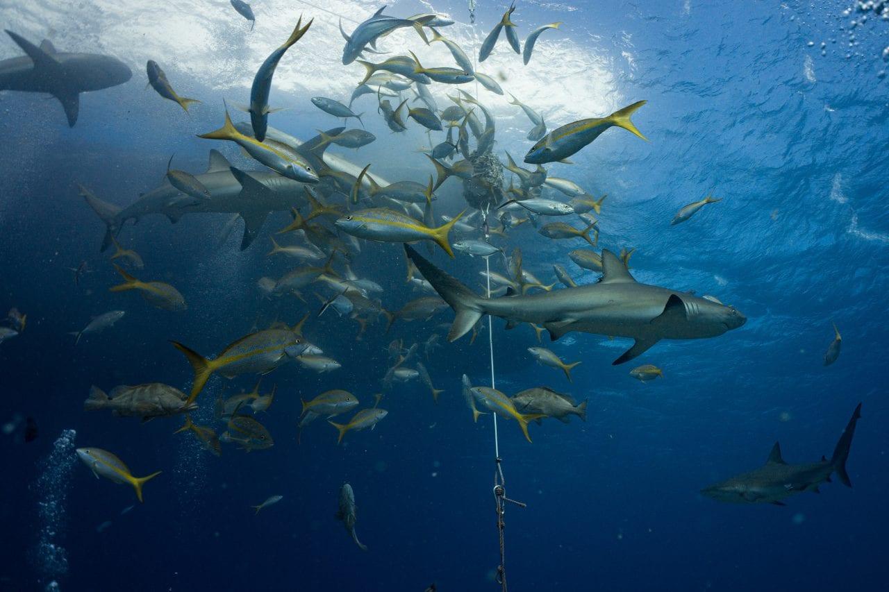 Bahamas shark feeding scuba dive