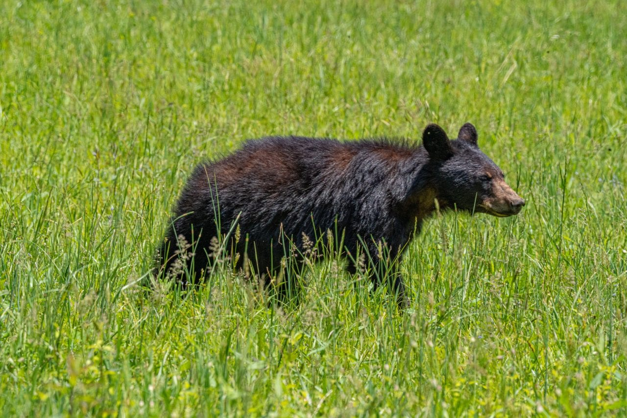 Yearling cub in Cades Cove