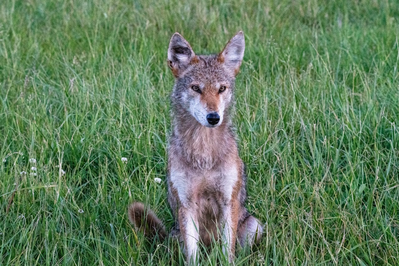 Cades Cove Coyote looking very majestic