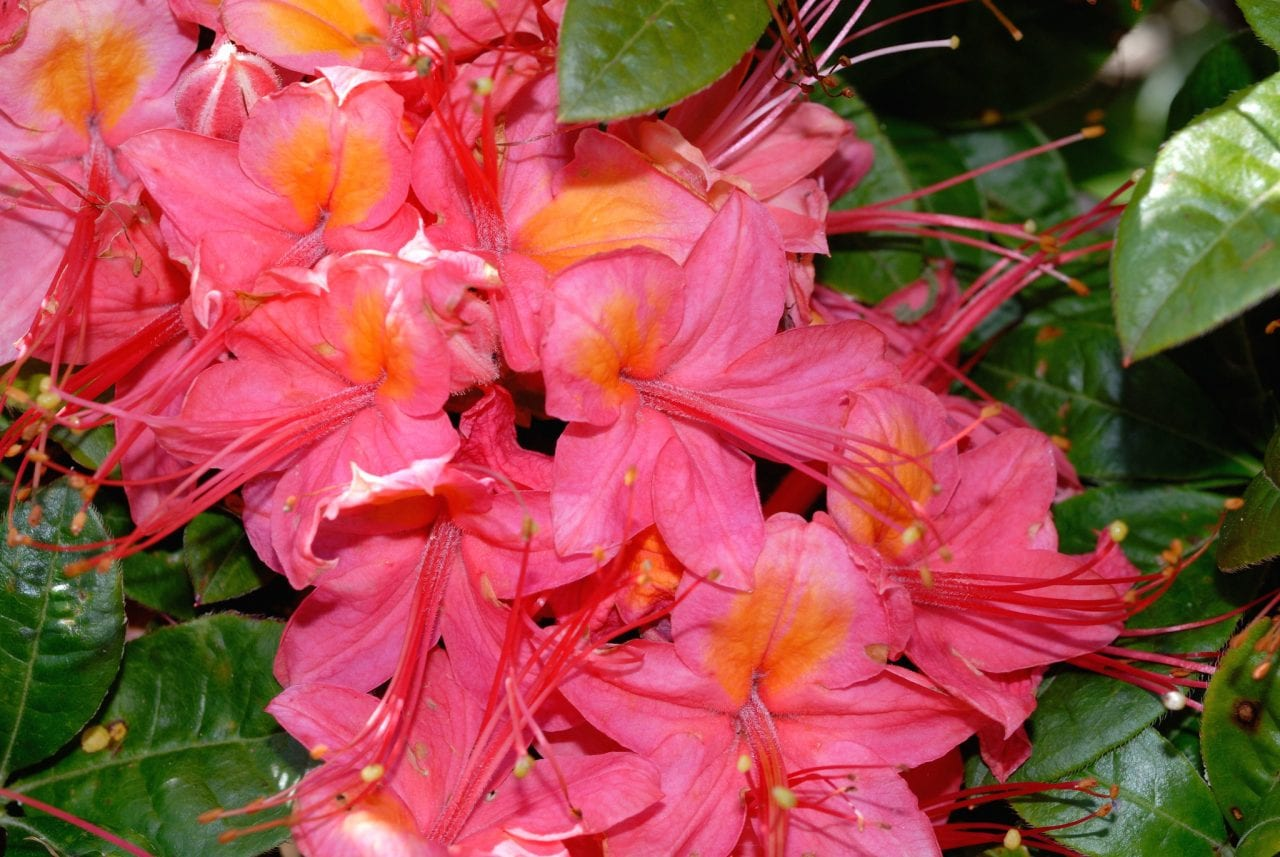 flame azalea Gregory Bald in Great Smoky Mountains National Park by Nicholas Turland via Flickr
